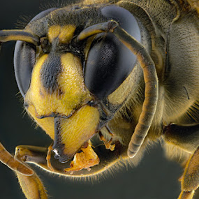 Hornet by Muntazeri Abdi - Animals Insects & Spiders
