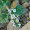 Fragrant Heliotrope (Ηλιοτρόπιο το αρωματικό)