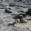 Galapagos fur seal pups