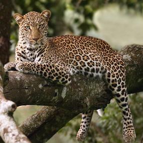 Lazy bones by Sue Green - Animals Lions, Tigers & Big Cats (  )