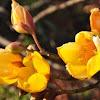 Savannas flower