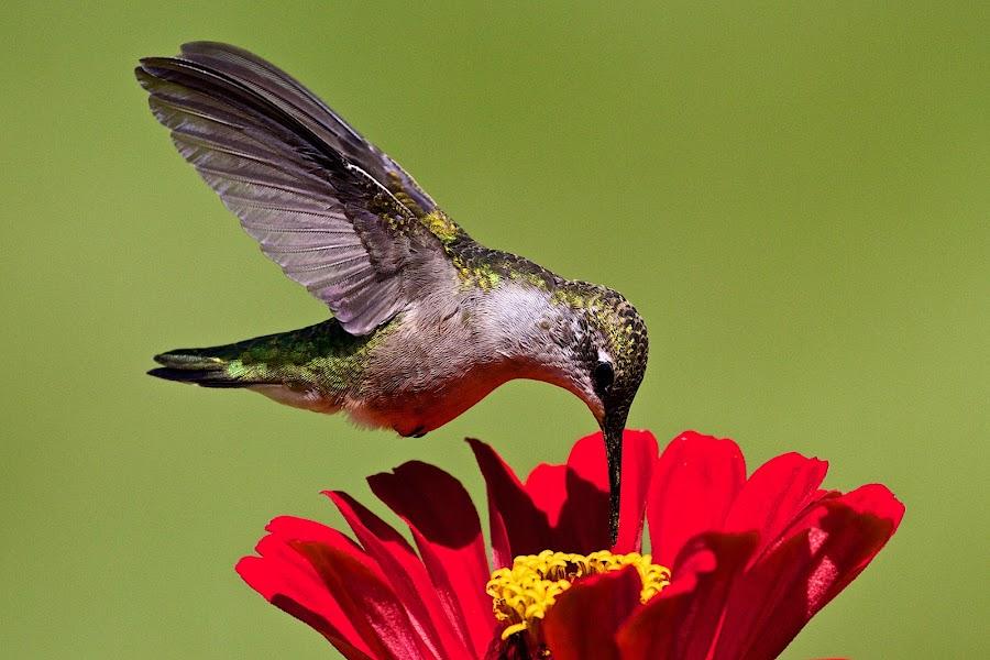 Hummingbird by Dan Ferrin - Animals Birds ( bird, nature, hummingbird, wildlife, birds, humming bird )
