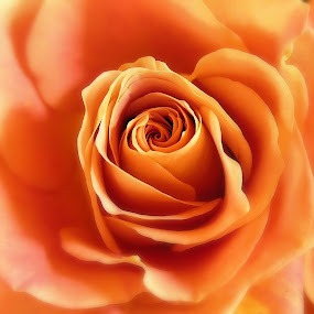 Passion by Liz Crono - Flowers Single Flower ( rose, orange, single, yellow, flowers )