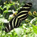 Longwing Zebra Butterfly