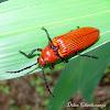 Click beetle(Elateridae)