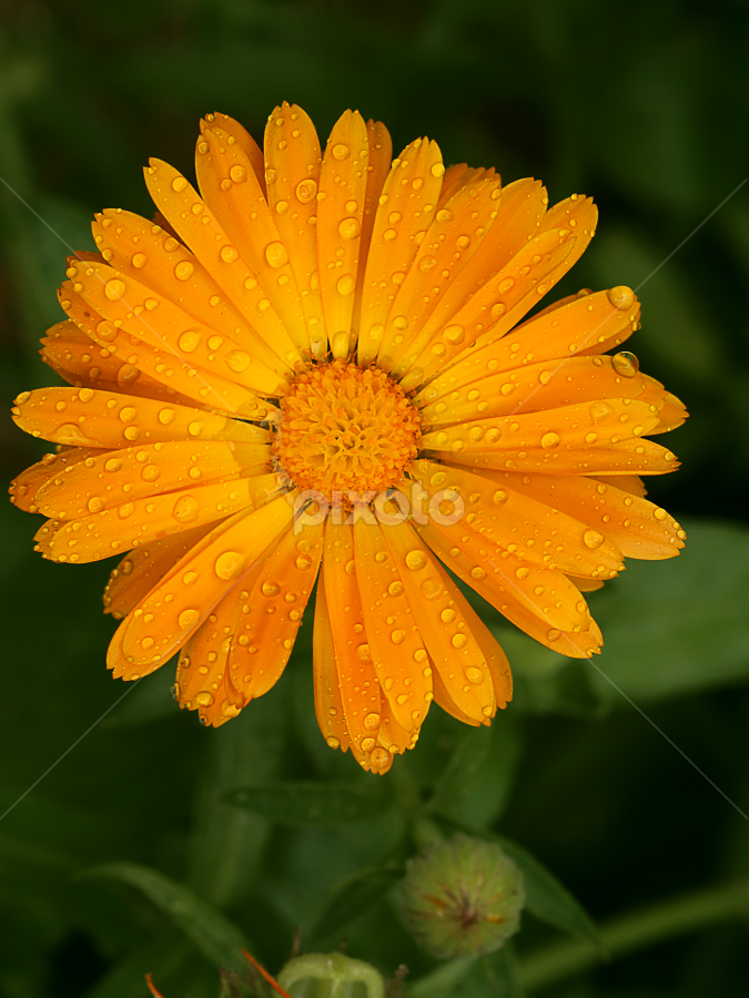 by Bharat Dudeja - Flowers Single Flower ( pot marigold, calendula, petals, yellow, flower,  )