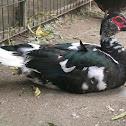 Duck (Muscovy Duck )