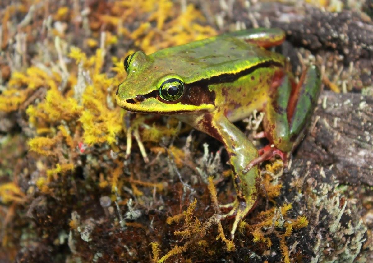 Green Eyed Frog