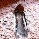 Flame Shoulder Moth