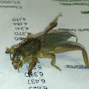 Northwest Mole Cricket / Southern Mole Cricket