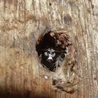 Sphecid wasp