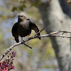 (Female) Brewer's Blackbird