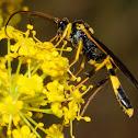 Parasitic wasp, avispa parásita