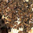 Honeybees in hive