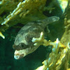 Masked Puffer Fish