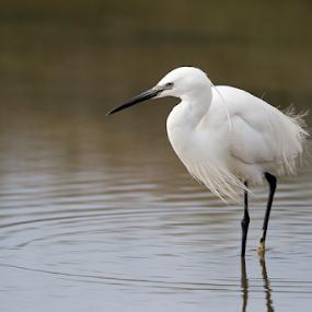Elegance by Marsilio Casale - Animals Birds ( bird, elegance, white, egret, animal )