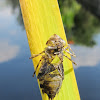 Dragonfly Exuviae