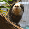 White headed marmoset