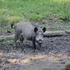 Wild Boar (Wild zwijn)