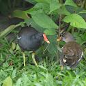 紅冠水雞 / Common Moorhen