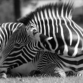 Zebra by Garry Chisholm - Black & White Animals ( garry chisholm, nature, black and white, horse, wildlife, zebra, stripe )