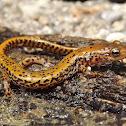 Longtailed Salamander