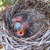 Spotless Starling's nest