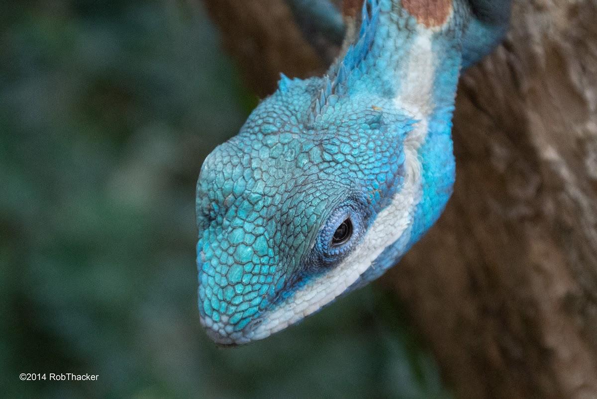 Blue Crested Tree Lizard