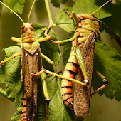 Jigsaw Puzzle Insects and Bugs