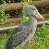 shoebill stock
