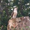 Big island Hawaiian hawk
