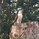 Big island Hawaiian hawk