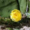 Eastern Prickly Pear