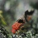 bark louse. Psocidae.