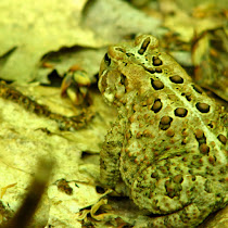 Frogs of The Northeastern US