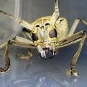 Long-horned Beetle