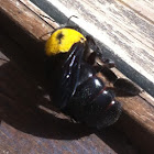 בומבוס האדמה buff-tailed bumblebee or large earth bumblebee