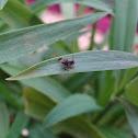 Planthopper nymph
