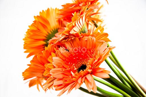bunch of orange jerberas flower arangements flowers pixoto