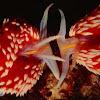 Hermissenda Nudibranchs