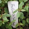 Fuchsia 'Chillerton Beauty'
