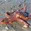 Pacific Red Octopus