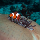 Clown fish or anemonefish