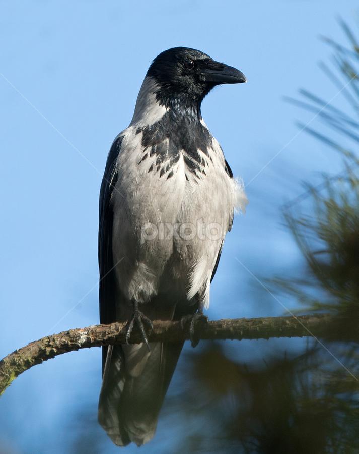 Corvus corone cornix by Dragomir Taborin - Animals Birds