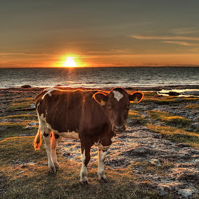 Sunset&Cow by Frøydis Folgerø - Animals Other ( orange, sweet, sunset, sea, cow, brown, ocean, animal,  )