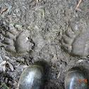 Louisiana Black Bear (tracks)