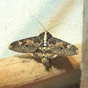 Sundowner moth / Beer moth