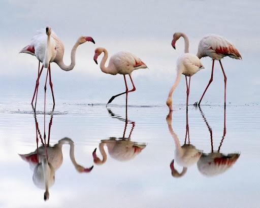 Flamingo Bird HD Wallpaper