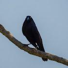 Iraúna-grande(Giant Cowbird)