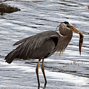 Heron Dining by Steve Fisher - Animals Birds